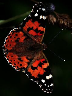 ~The Painted Lady (by SNAPDECISIONS)~