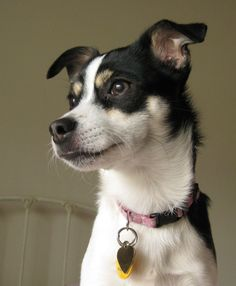 The Rat Terrier is really a extremely well-mannered, well-rounded dog.