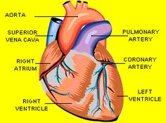The Anatomy of Your Heart: Heart Anatomy