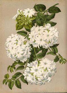 "heaveninawildflower: ""Jasminum multiflorum (Burm.f.) Andrews, syn. Jasminum gracillimum Hook.f. (1884) taken from Paxton's Flower Garden, Image and text via Wikimedia. """