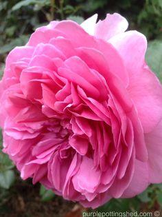 Rose, David Austin Jubilee Celebration, and fragrant too! www.purplepottingshed.com