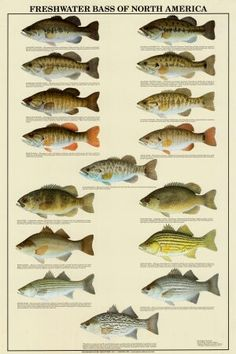 Bass of North America Prints Freshwater Bass of North America, Great Lakes. Very cool, beautifully illustrated poster.Freshwater Bass of North America, Great Lakes. Very cool, beautifully illustrated poster. Bass Fishing Lures, Gone Fishing, Best Fishing, Trout Fishing, Kayak Fishing, Alaska Fishing, Fishing Tackle, Fishing Boats, Fishing Stuff
