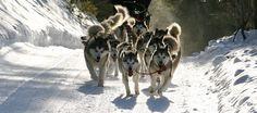 Pagosa Dogsled Tours - Alaskan Malamute Dogsled Touring Company