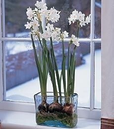 paperwhites in glass vase | ... forcing including Amaryllis, Hyacinth, Paperwhites, Crocus and more