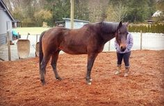 Strider is still looking for a new home! He is a Thoroughbred x gelding between 10-15 years of age. He is a big boy with a thick, Warmblood type build and stands around 15.3-16hh.