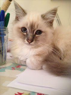 This is Rigby, my beautiful Birman cat