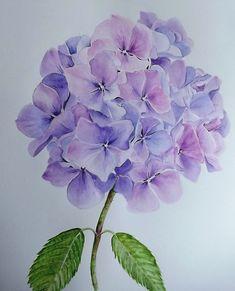 Glennis Weston - blue hydrangea watercolor floral art