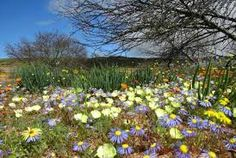 Once a year in South Africa's outback, vast stretches of land suddenly transform into vibrantly colored fields full of exotic flowers Spring Flowers, Wild Flowers, South African Flowers, Colour Field, Exotic Flowers, Fields, Vibrant Colors, National Parks, Around The Worlds