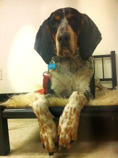 Bluetick Coonhound #Dogs #Puppy