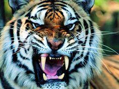 Tiger-Face-Long-Sharp-Teeth-HD-Animal-Wallpaper.jpg (1600×1200)