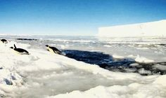 Emperor penguins are badass. | 14 Mind-Blowing Facts About Antarctica