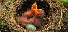 Hungry-blackbirds-chicks-beacons-wide-open-Gierhaelse-Schnaebel-weit-aufgerissen-Amselkukenfrischlin by Kilian  on 500px