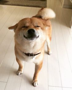 "@sada1192 on Instagram: ""ただいま🐕 飼い主アクシデントにより入院🏥 毛玉久しぶり(*・∀・)ノ゛ #若いつもりで #ハッスルした結果 #アキレス腱断裂 #みなさまにご迷惑をおかけしました #毛玉もしばらくお散歩行けないよ #ごめんね #柴犬 #shibadog #shibagram…"" Shiba Inu, Shiba Puppy, Akita Dog, Cute Puppies, Cute Dogs, Dogs And Puppies, Cute Funny Animals, Cute Baby Animals, Tattoo L"