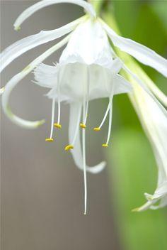 White Peruvian Daffodil