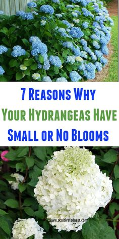 hydrangea garden care garden c - gardencare Hydrangea Bloom, Hydrangea Care, Hydrangea Not Blooming, Blooming Flowers, Climbing Hydrangea, Limelight Hydrangea, Pink Hydrangea, When Do Hydrangeas Bloom, Caring For Hydrangeas