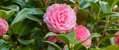 Camellias have been the pride of southern gardeners for many years. Add these beautiful blooms to your garden. Camellia Tree, Camellia Plant, Compost, Shade Shrubs, Lavender Seeds, Rosemary Plant, Bonsai Seeds, Magnolia Trees, How To Attract Hummingbirds