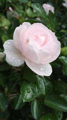 'Aspirin' | Floribunda Rose.