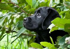 Black lab puppy  Labs will always hold a special place in my heart.. I only wish I had the body to keep up with them still.  I would have another in my family in a heartbeat.  Great bread for a young family with lots of room for them to play, and lots of time to run and play/ swim/ hunt with them. :-). Loyal and loving to a fault