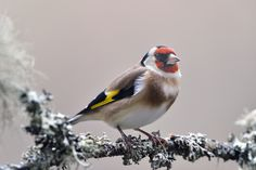 Photograph European Goldfinch by Frederic Chausse on 500px