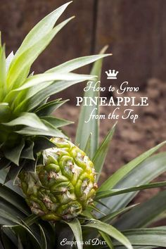 How to Grow a Pineapple Plant Indoors