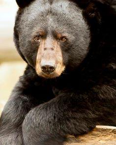Black bear animal