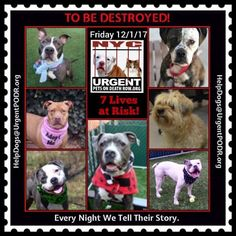 TO BE DESTROYED 12/01/17 - - Info   To rescue a Death Row Dog, Please read this:http://information.urgentpodr.org/adoption-info-and-list-of-rescues/  To view the full album, please click here:http://nycdogs.urgentpodr.org/tbd-dogs-page/ -  Click for info & Current Status: http://nycdogs.urgentpodr.org/to-be-destroyed-4915/