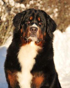 Berner Sennen (Mountain Dog)