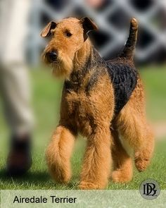 Airedale Terrier-my dog is part airdale u can tell by the beard and fuzzy eyebrows. Makes him look older than 3.