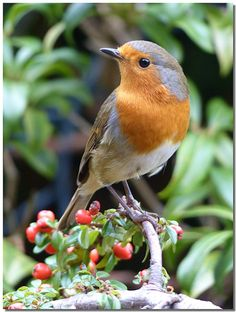 """emuwren:  """" The European Robin - Erithacus rubecula, is a small insectivorous passerine bird. This species occurs in Eurasia east to Western Siberia and on the Atlantic islands as far west as the Azores and Madeira.  Photo by Birdforum.net.  """""""