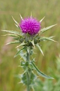 Milk thistle has been in use by herbalists for over 2,000 years in Europe. It's primary function is protecting the liver and treating liver and gallbladder problems. This herb is also used to lower cholesterol, treat diabetes and reduce cancer cells in the breast, cervix and prostate.