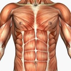 Musculature of the Chest and Abs - reference image of the musculature of the chest and abdomen A gallery of human anatomy reference images Chest Workouts, Fun Workouts, Chest Exercises, Exercise Routines, Health Exercise, Pilates, Exercise Without Weights, Sixpack Abs Workout, Intense Ab Workout
