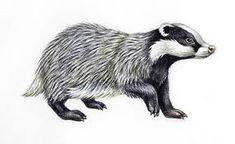 Illustration of European Badger or Eurasian badger Poster Nocturnal Animals, Cute Animals, Animals And Pets, British Wildlife, Wildlife Art, Woodland Creatures, Woodland Animals, Hogwarts, Badger Tattoo