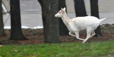 A white deer galops across a field at Argonne National Laboratory. #wildlife #animals #deer