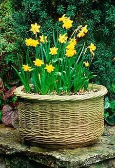 Wicker baskets can be great container accents, but be sure your baskets are treated to withstand the weather. Include a liner pot inside to keep the wicker from rotting. We love the spring-fresh look of this basket of #daffodils. http://www.aldmn.com.