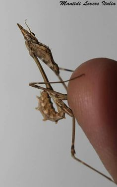Empusa fasciata, ninfa L4 - Copyright Mantidi Lovers Italia