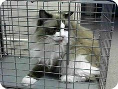 Pasadena, CA - Ragdoll. Meet SHIFTY, a cat for adoption. http://www.adoptapet.com/pet/11996763-pasadena-california-cat