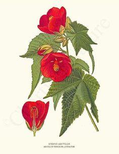 Hybrid Abutilon Flower Print 8x10 Print