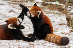 red panda high five