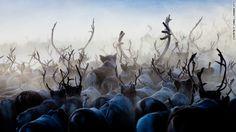 Herd of reindeers has me fantasized! The reindeer population is more than the human population in Lapland Finland. Lapland Finland, Unexplained Mysteries, Animal Tracks, Arctic Animals, Midnight Sun, Romantic Getaways, Animal Kingdom, Animals Beautiful, Reindeer