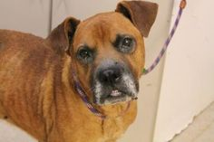 Spartanburg/bud Boxer • Adult • Male • Large Greenville County Animal Care Greenville, SC
