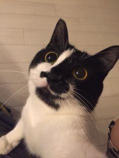 「ハムをおねだりする顔」と「もらえなかった時の顔」のギャップがありすぎる猫   ねこナビ