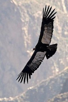 Andean Condor - I have seen these beautiful birds in the Chilean Andes - amazing - graceful - deadly!