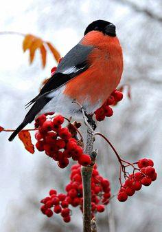Eurasian bullfinch is a favourite winter bird in Russia; снегирь