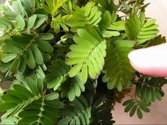 ch 5 my mimosa pudica / shrinking violet plant opening - time lapse