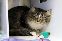 Bibb is in foster care and available for adoption at Seattle Humane http://www.seattlehumane.org/adoption/cats