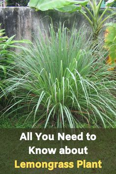 All You Need to Know about Lemongrass Plant (Technical Sheet) Edible Plants, Edible Garden, Easy Garden, Garden Ideas, Garden Bed, Garden Shrubs, Shade Garden, Garden Plants, Herb Plants