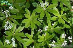 Plantes indestructibles d'Albert Mondor; Le gaillet odorant, un couvre-sol pour ombre dense