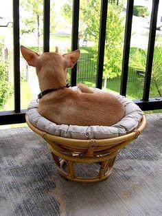 Good Puppy In A Papasan Chair Base W/pillow