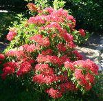 kalmia latifolia « ostbo red » ou laurier des montagnes rouge ostbo red pot 3…
