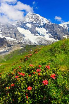 Prisma (F1 Online) - Alpen, Alpenflora, Alpenrose, Alpenrosen, Aussicht, Berg, Berge, Bergflora, Bergpanorama, Bern, Berner Oberland, Blume, Blumen, - Fotoprints